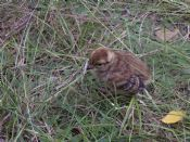 Black Grouse Chick