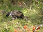 Young Black Grouse